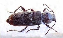 liten svart bille
